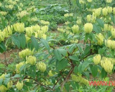 金银花的功效与作用 夏季家中常备良药