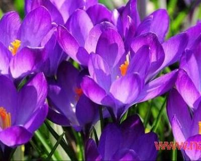 藏红花的功效与作用 藏红花要注意吃法